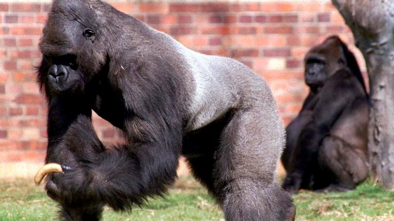Gorilas fueron contagiados con el coronavirus COVID- 19