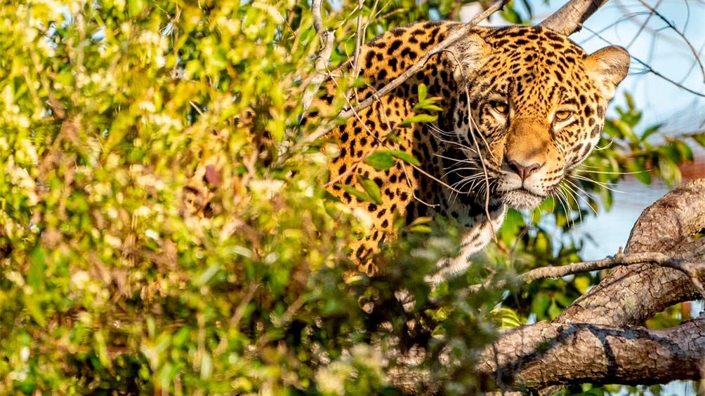 Liberaron en los Esteros del Iberá a una yaguareté nacida en cautiverio